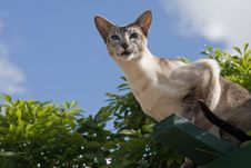 Free Tabby Point Siamese Against Sky Royalty Free Stock Photos - 17275518