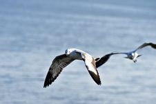 Free Seagull Royalty Free Stock Image - 17275976