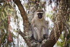 Free Vervet Monkey In Tree Royalty Free Stock Image - 17276636