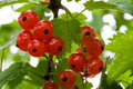 Free Ripe Red Currant Royalty Free Stock Image - 17285376