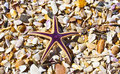 Free Starfish In A Shells Royalty Free Stock Images - 17287969