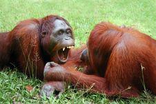 Free Two Orangutans Stock Image - 17280201
