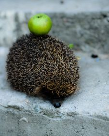 Free A Hadgehog With A Green Apple Stock Image - 17280691