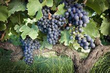 Free Grape Vines Stock Photo - 17284640