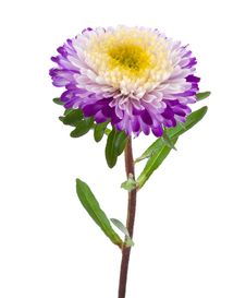 Free Purple-white Aster Isolated Stock Photo - 17285350
