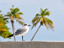 Free Seagull With Palms Stock Image - 17285681