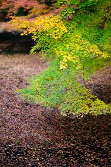 Free Japan Maple Kyoto 03 Royalty Free Stock Photos - 17286918