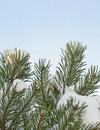 Free Pine Tree In Detail Covered With Snow Royalty Free Stock Photo - 17291725