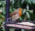 Free Robin Redbreast (Erithacus Rubecula) Stock Photo - 17293250