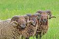 Free Rare Breed Sheep Stock Photo - 17293790