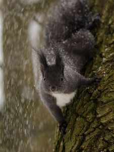 Free Squirrel On Snow Royalty Free Stock Photos - 17293008
