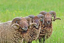 Free Rare Breed Sheep Stock Photo - 17293790