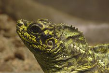 Free Lizard Royalty Free Stock Images - 17293809