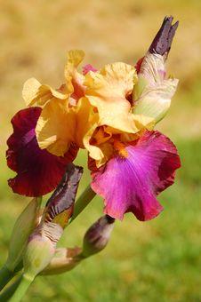 Free Iris Flower Royalty Free Stock Photo - 17294915