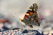 Free Butterfly Vanessa Cardui Royalty Free Stock Images - 17298429