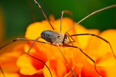 Free Spider Opiliones Royalty Free Stock Images - 17298549