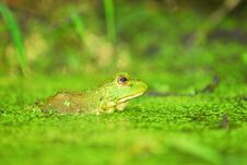 Free Green Frog Stock Photo - 17299140