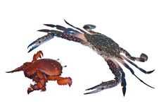 Free Crab Chase Royalty Free Stock Photo - 17299765