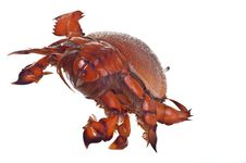 Free Red Crab Royalty Free Stock Photo - 17299775