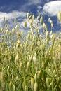 Free Ripe Wheat. Stock Image - 1735661