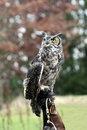 Free Great Horned Owl Royalty Free Stock Image - 1739126
