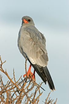 Free Pale Chanting Goshawk Royalty Free Stock Photos - 1731938