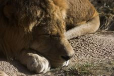 Free Sleeping Lion Stock Photography - 1734752