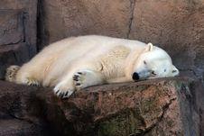 Free Polar Bear Napping Stock Image - 1735301