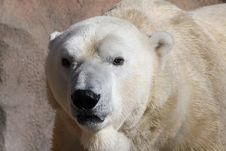 Free Polar Bear Stock Image - 1735331