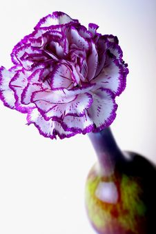 Free Purple Carnation Stock Photography - 1735352