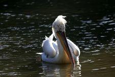 Free Pelican (Pelecanus) Royalty Free Stock Image - 1736036