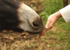 Free Feeding A Donkey Royalty Free Stock Images - 1736609