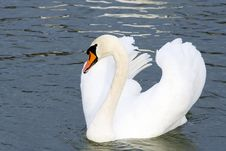 Free Swan 2 Royalty Free Stock Image - 1737836