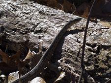Free Garter Snake On Log Royalty Free Stock Photography - 1737957