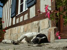 Free Dog Braque D Auvergne Royalty Free Stock Image - 1738336
