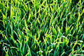 Free Grass In The Morning With Dew Royalty Free Stock Images - 17302159
