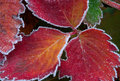 Free First Frost, Red Strawberry Leaves Royalty Free Stock Images - 17305859