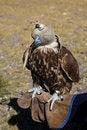 Free Golden Eagle Stock Photos - 17307933