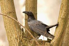 Free Raven - Corvus Corax Stock Photography - 17301172