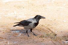 Hooded Crow ( Corvus Corone Cornix ) Royalty Free Stock Photos
