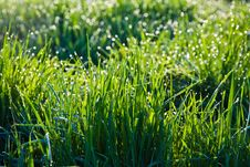 Free Grass In The Morning With Dew Stock Photography - 17302102