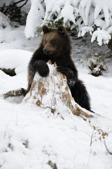 Free Little Brown Bear In Winter Landscape Royalty Free Stock Images - 17302559