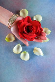Woman Hand Holding Rose Royalty Free Stock Photography