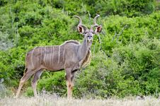 Free Kudu Focus Stock Photo - 17303130