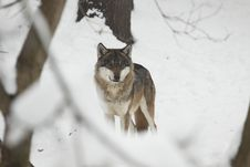 Free Eurasian Wolf On Snow Stock Images - 17303364