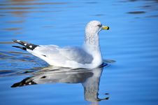 Free Seagull Royalty Free Stock Photography - 17304617