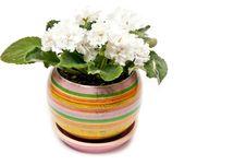 Free White Violet Stock Image - 17305551