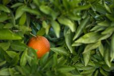Free One Ripe Spanish Orange On The Tree Royalty Free Stock Photography - 17306037