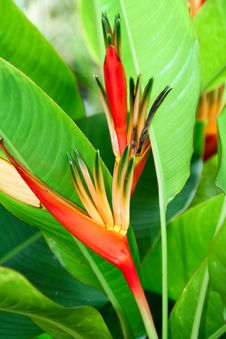Free Heliconia Stock Image - 17306391