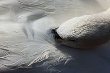Sleeping Swan Royalty Free Stock Photos
